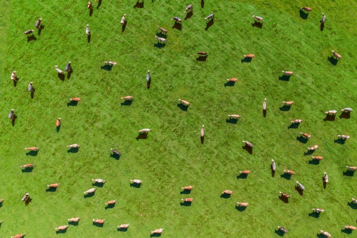 A meadow with many cows taken from the air with a drone
