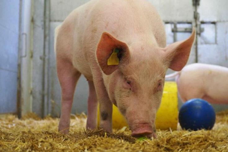 Pig in hay