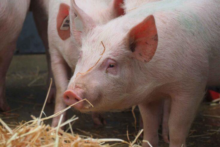 Pigs in hay