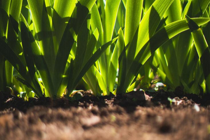Iris leaves growing in the UK.