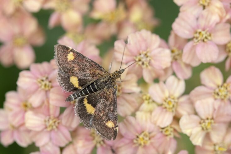 Mint Moth (Pyrausta aurata) on Achillea millefollium