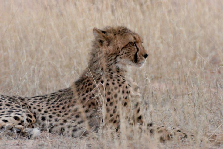 Cheetah - by Stephen Willis - Durham University