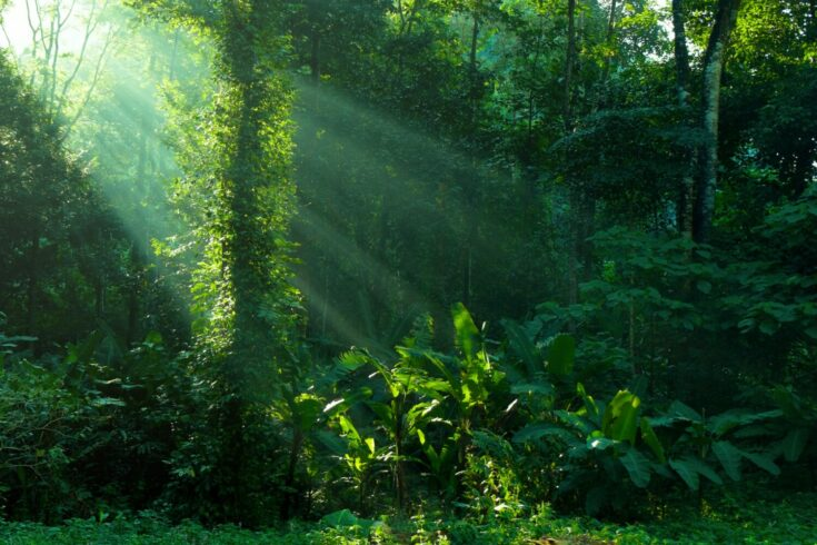 Rainforest with sunlight through canopy