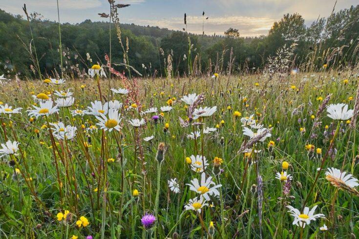 Wild flowers in a hay meadow