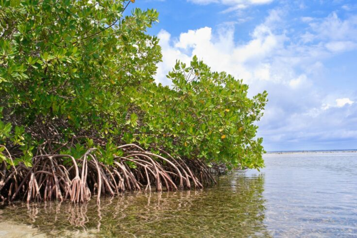 Mangrove forest and shallow waters in a Tropical island