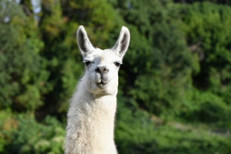 Portrait of a Llama looking into the camera